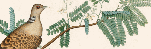 "Detail from a watercolor on paper. ""A Turtledove on a Tamarind Branch."" Signed by Zain al-Din India, Calcutta; 1778 51.9 × 72.4 cm (David Museum, Denmark)"